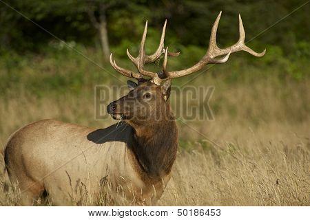 Redwoods Elk