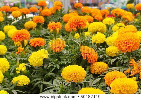 Bright yellow and orange marigolds