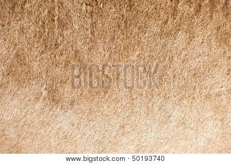 Lion Coat Closeup