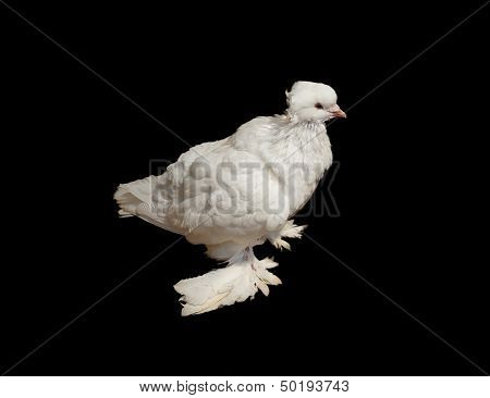 close up off  rare species white pigeon