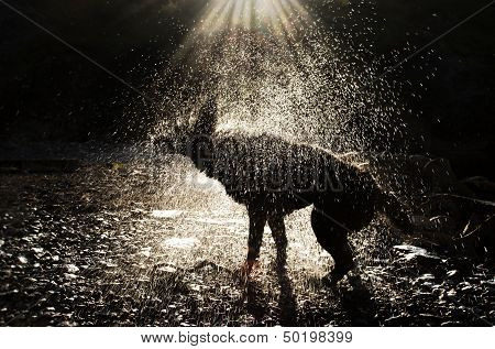 A Dog Shaking