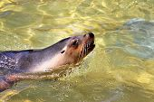 Australian Sea-Lion surfacing to breathe. Neophoca cinerea poster