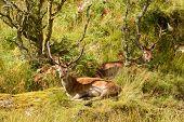Majestic European Red deer - stag (Cervus Elaphus) in native environment poster