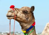 Decorated camel at the Pushkar fair. Rajasthan India Asia poster