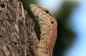 Close-up of a Juvenile Land Monitor (Varanus Bengalensis) Yala National Park Sri Lanka poster