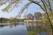 A Spring view of the lake and cherry blossom trees at Branchbrook Park in Essex County NJ. poster