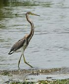 Immature Tri-colored heron walking at water's edge poster