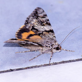 Nocturnal butterfly or moth, close-up photography