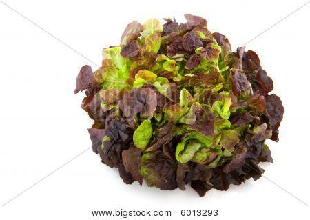 Oak Lettuce
