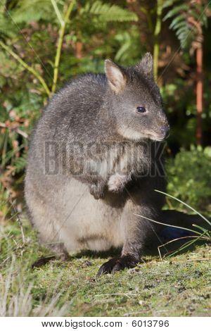 wallaby close up