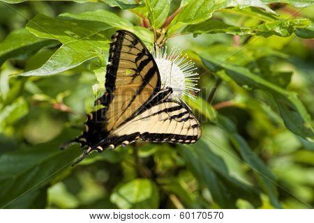 Tiger Swallowtail On Buttonbush Wildflower 3