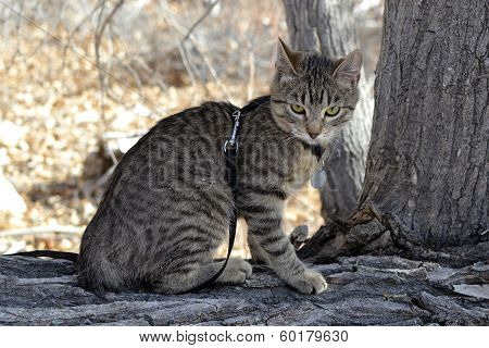Grey tabby kitten on leash exploring nature poster