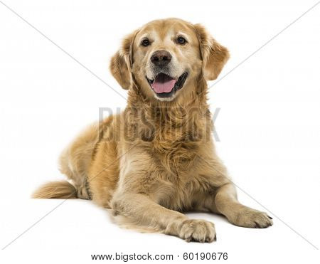 Golden Retriever lying, panting, 11  years old, isolated on white