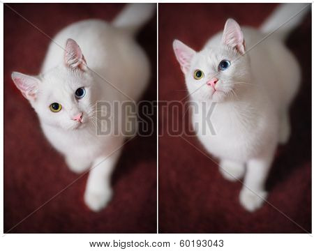 Two White Cat With Large Yellow And Blue And Green Eyes Looks At The Camera From The Bottom Up