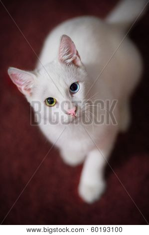 Young White Cat Looking Up And Watching