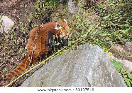 Red Panda, Ailurus Fulgens