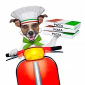 pizza delivery dog with a stack of pizza boxes on a motorbike poster