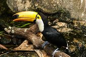 Colorful tucan in the aviary  .Costa Rica. poster