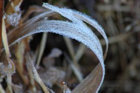 Frost On Grass And Leaves