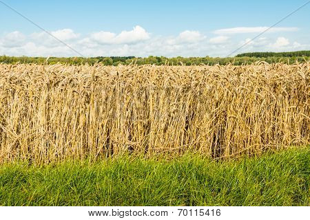 Edge Of A Wheat Field From Close