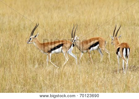 Masai Mara Thomson's Gazelles
