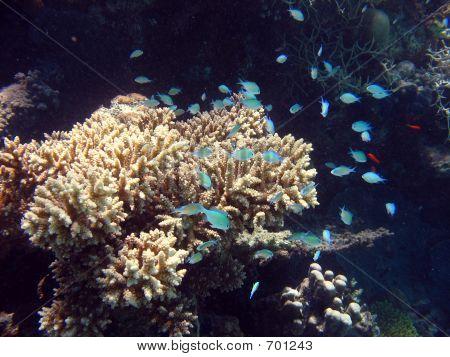 Small Fish Amongst Coral