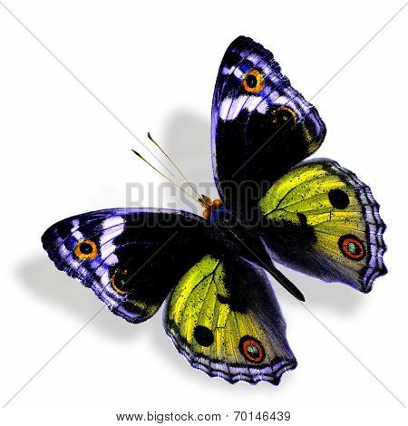 Beautiful Yellow Butterfly (Male of Blue Pansy) in fancy color profile isolated on white background with soft shadow