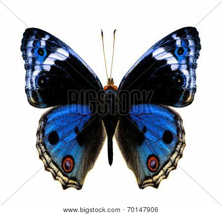 Blue Pansy Butterfly In Fancy Color Profile Isolated On White Background