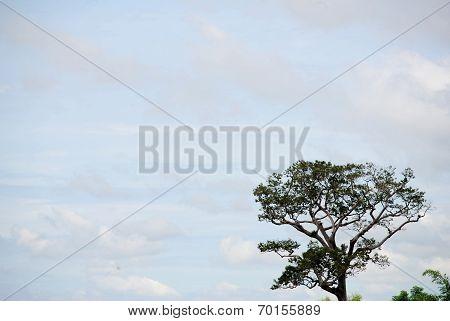 Dipterocarpus Alatus