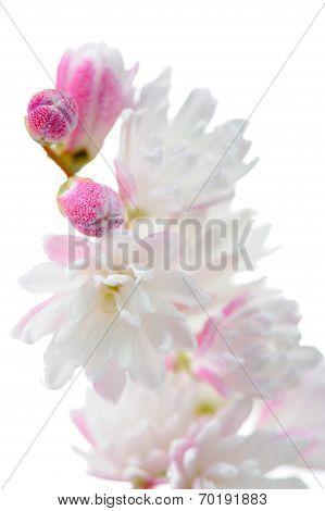 Elegant Pinkish White Fuzzy Deutzia Flowers Close-up On White Background