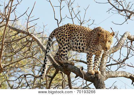 Portrait shot of a African Leopard