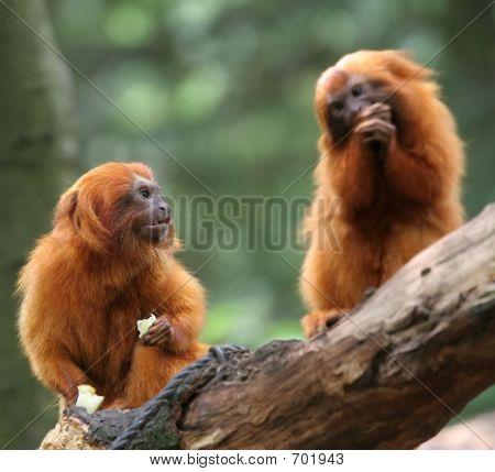 Golden Lion tamarin monkey (Leontopithecus rosalia) Focus on monkey on the left poster