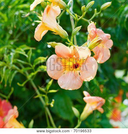Pink Flowers Of Convolvulus