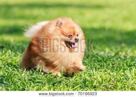 Pomeranian Dog Running On Green Grass In The Garden