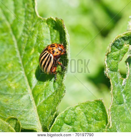 Colorado Potato Bug Eats Potatoes Leaves