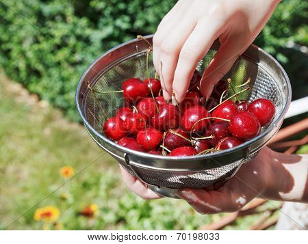 Woman Eats Ripe Red Sweet Cherries