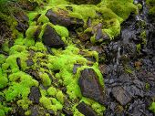 green moss on old wet stone in the forest poster