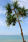Screw Pine tree on the beach and blue sky poster