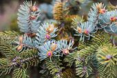 Evergreen branches of the Colorado blue spruce with young pink cones. poster