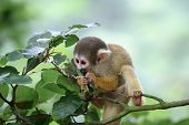 Cute little squirrelmonkey munching on some leaves poster