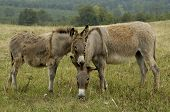 Mother and Daughter Donkeys showing affection poster