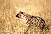 Portrait shot of the sneaky spotted hyena poster