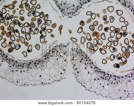 Lily Anther Micrograph