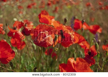 Big Field Of Blossoming Red Poppies