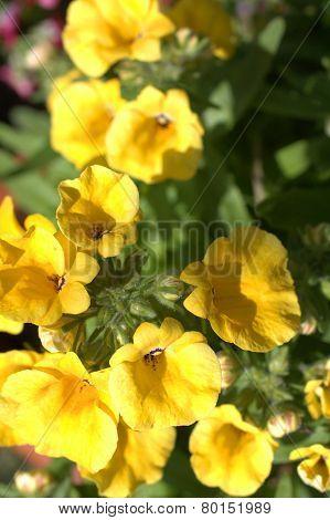Yelow Nemesia Flowers Close Up