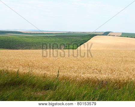 Agricultural Landscape - Wheatfield And Gardens