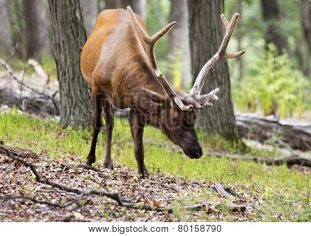 Elk Stag in the Woods