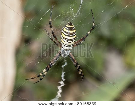 Striped Spider
