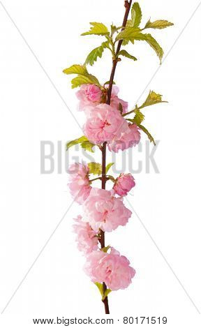 Branch with beautiful pink flowers ( Amygdalus triloba)  isolated on white background. Shallow depth of field.