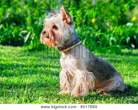 Yorkshire Terrier on green grass ( Dog ) poster